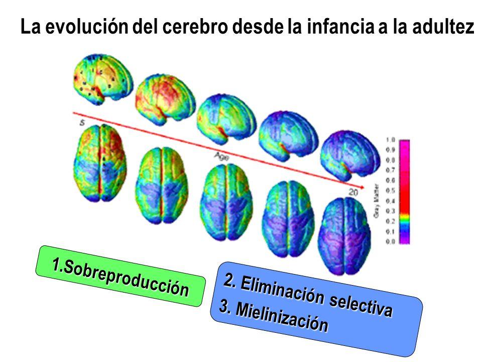La evolución del cerebro desde la infancia a la adultez 1.Sobreproducción 2. Eliminación selectiva 3. Mielinización