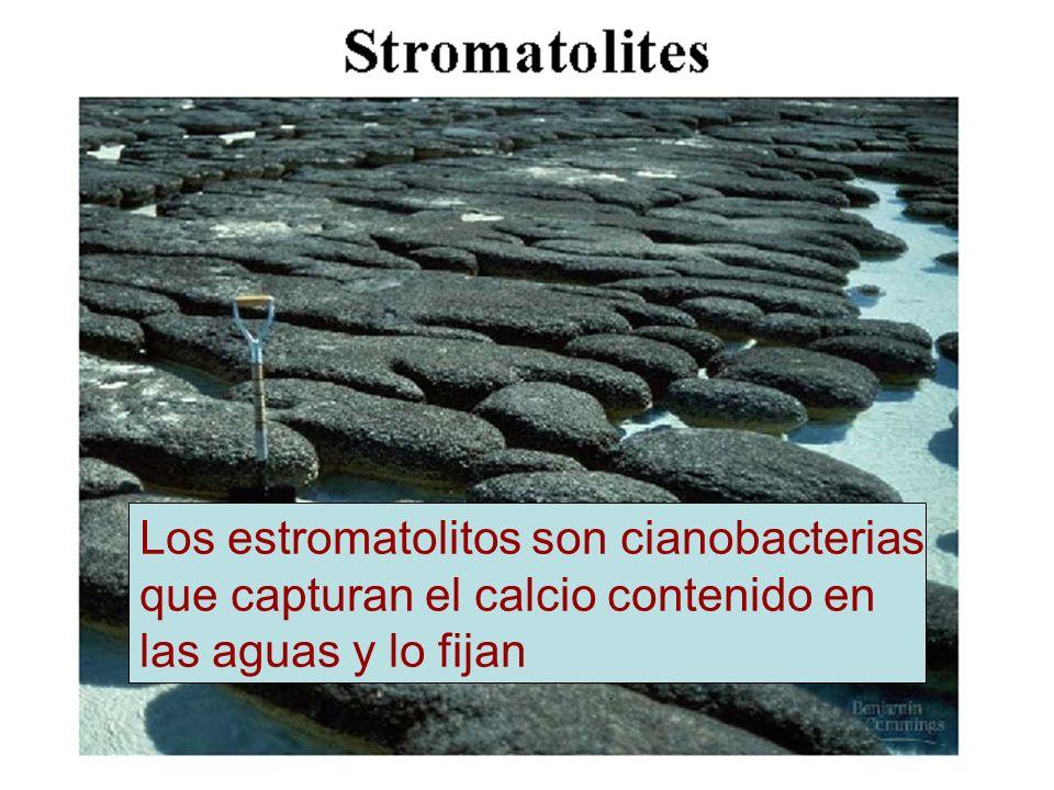 Los estromatolitos son cianobacterias que capturan el calcio contenido en las aguas y lo fijan