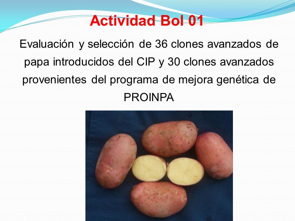 Actividad Bol 01 Evaluación y selección de 36 clones avanzados de papa introducidos del CIP y 30 clones avanzados provenientes del programa de mejora genética de PROINPA