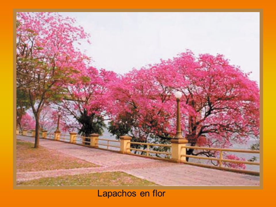 Lapachos en flor
