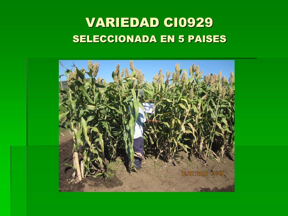 VARIEDAD CI0929 SELECCIONADA EN 5 PAISES VARIEDAD CI0929 SELECCIONADA EN 5 PAISES