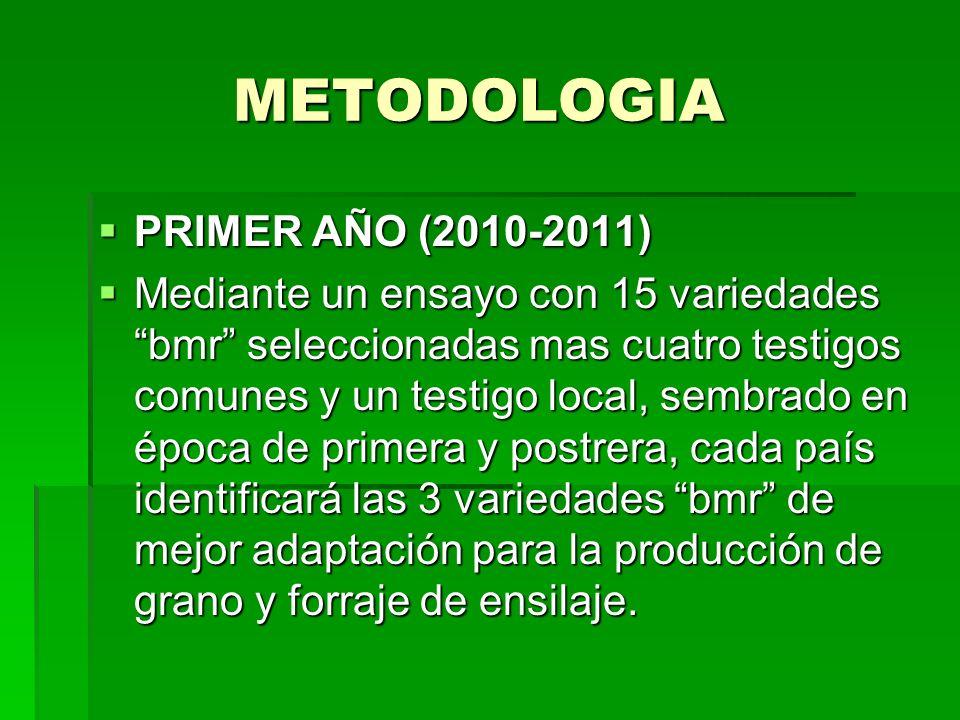 METODOLOGIA METODOLOGIA PRIMER AÑO (2010-2011) PRIMER AÑO (2010-2011) Mediante un ensayo con 15 variedades bmr seleccionadas mas cuatro testigos comun