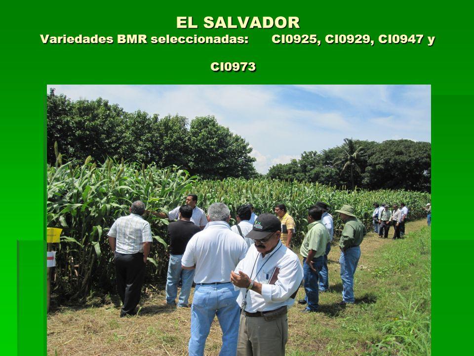 EL SALVADOR Variedades BMR seleccionadas: CI0925, CI0929, CI0947 y CI0973 EL SALVADOR Variedades BMR seleccionadas: CI0925, CI0929, CI0947 y CI0973