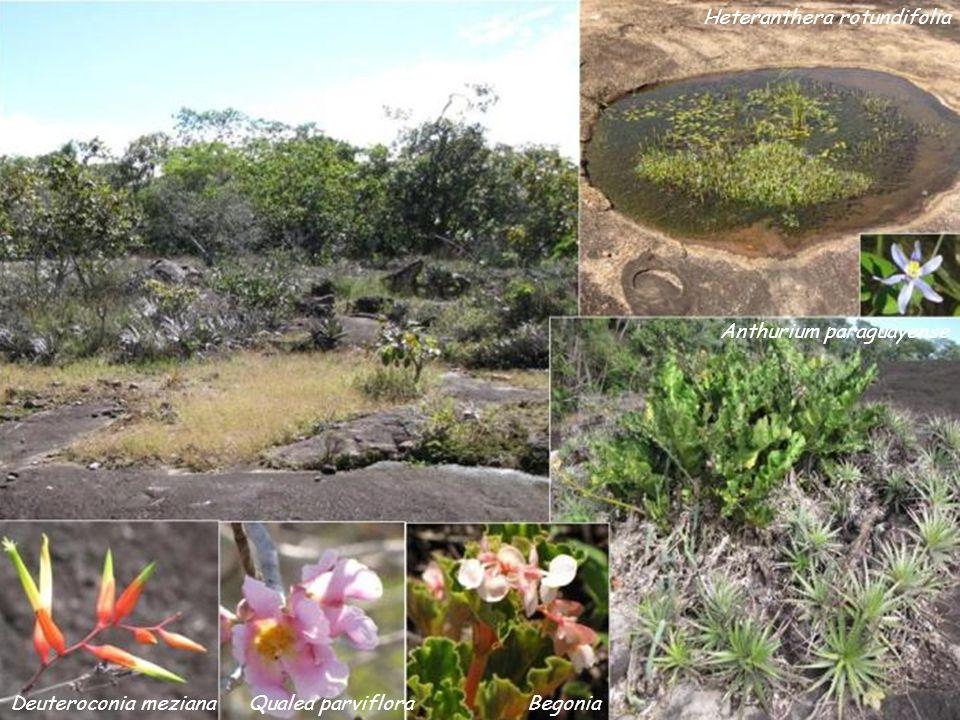 Heteranthera rotundifolia Anthurium paraguayense BegoniaQualea parvifloraDeuteroconia meziana