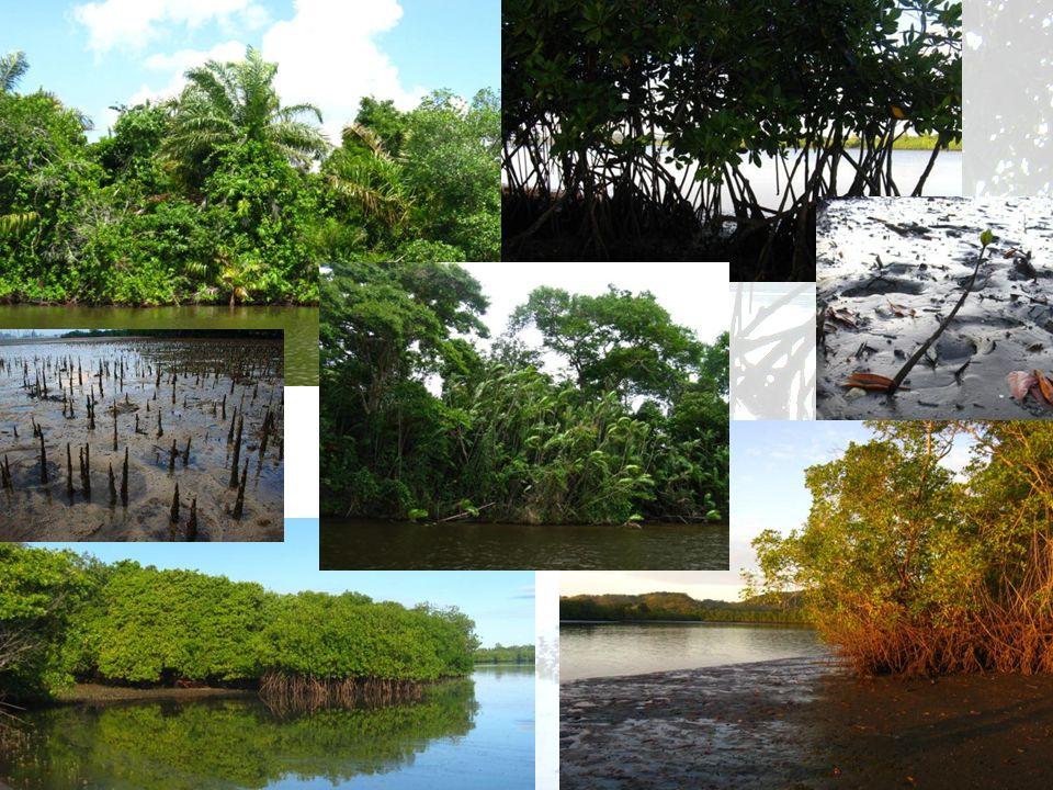 Contexto Brasil: 8.5%México: 5%Cuba: 3.2% Se ha perdido el 35% de los manglares En Centroamérica entre 1898 y 1997: 20 huracanes atlánticos intensos – categoría 3 a 5 – Ultima década: 37 Manglares y sistemas costeros almacenan hasta 5 veces mas carbono que bosques tropicales; y hasta la mitad de las emisiones del sector de transporte global