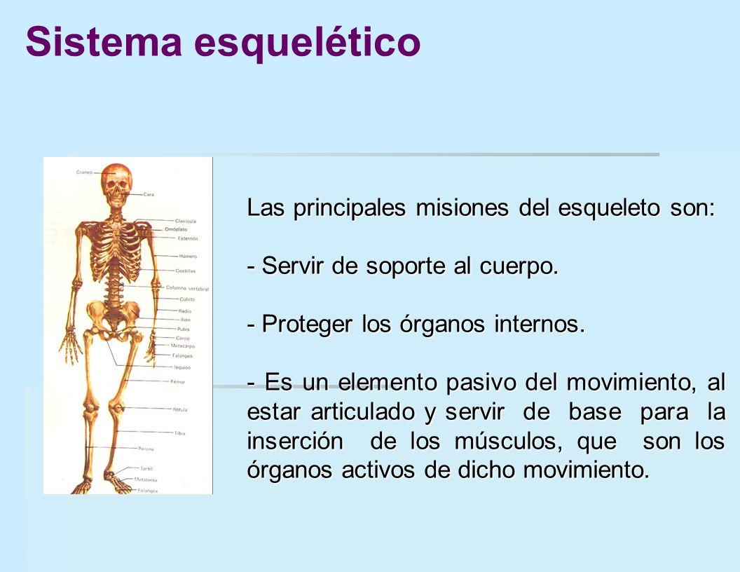 Las principales misiones del esqueleto son: - Servir de soporte al cuerpo. - Proteger los órganos internos. - Es un elemento pasivo del movimiento, al