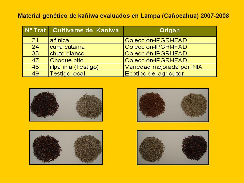 Material genético de kañiwa evaluados en Lampa (Cañocahua) 2007-2008
