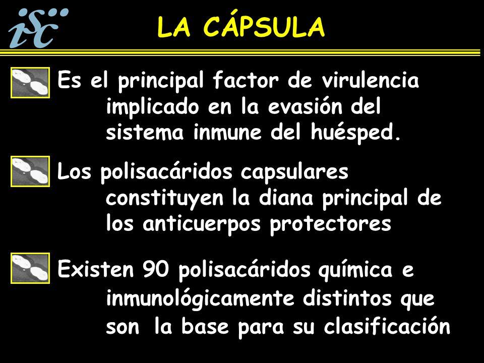 LA CÁPSULA Es el principal factor de virulencia implicado en la evasión del sistema inmune del huésped.