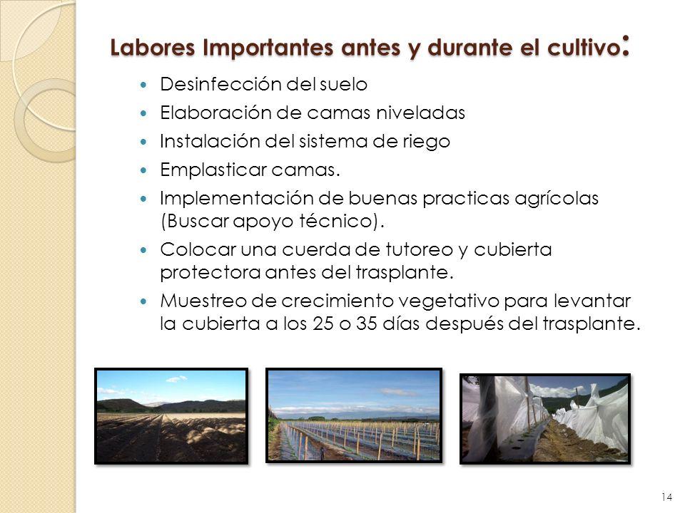 Labores Importantes antes y durante el cultivo : Desinfección del suelo Elaboración de camas niveladas Instalación del sistema de riego Emplasticar ca