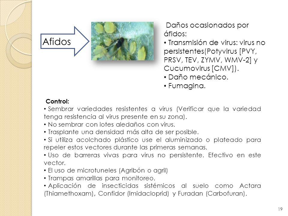 Afidos Daños ocasionados por áfidos: Transmisión de virus: virus no persistentes(Potyvirus [PVY, PRSV, TEV, ZYMV, WMV-2] y Cucumovirus [CMV]). Daño me