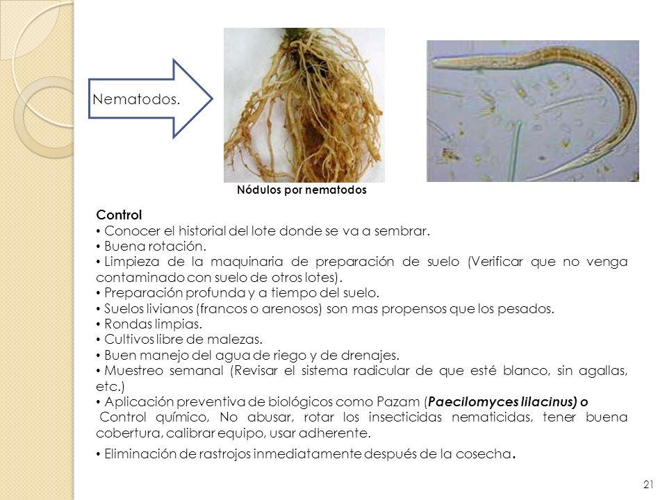 Nematodos. Nódulos por nematodos Control Conocer el historial del lote donde se va a sembrar. Buena rotación. Limpieza de la maquinaria de preparación