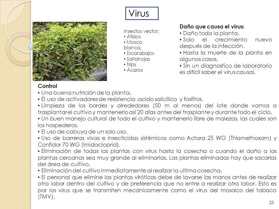 Virus Daño que causa el virus: Daño toda la planta. Solo el crecimiento nuevo después de la infección. Hasta la muerte de la planta en algunos casos.