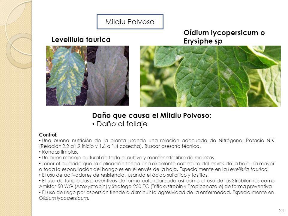 Control: Una buena nutrición de la planta usando una relación adecuada de Nitrógeno: Potacio N:K (Relación 2.2 a1.9 inicio y 1.6 a 1.4 cosecha). Busca