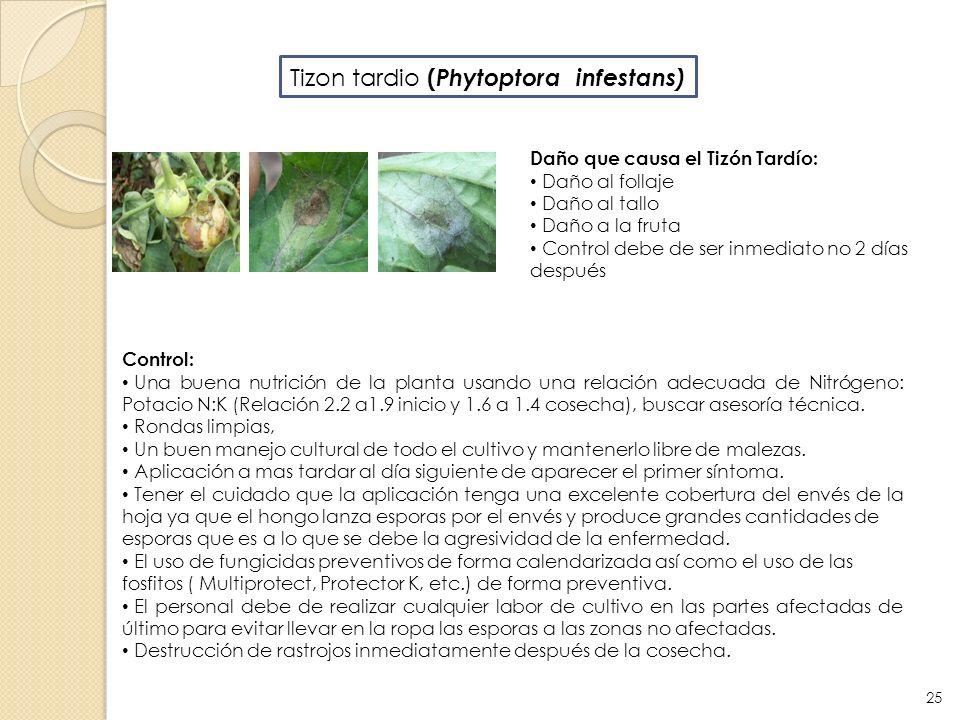 Control: Una buena nutrición de la planta usando una relación adecuada de Nitrógeno: Potacio N:K (Relación 2.2 a1.9 inicio y 1.6 a 1.4 cosecha), busca