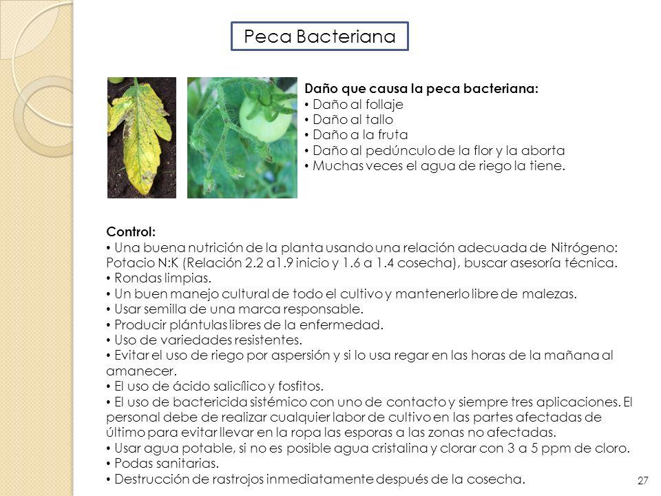 Peca Bacteriana Daño que causa la peca bacteriana: Daño al follaje Daño al tallo Daño a la fruta Daño al pedúnculo de la flor y la aborta Muchas veces