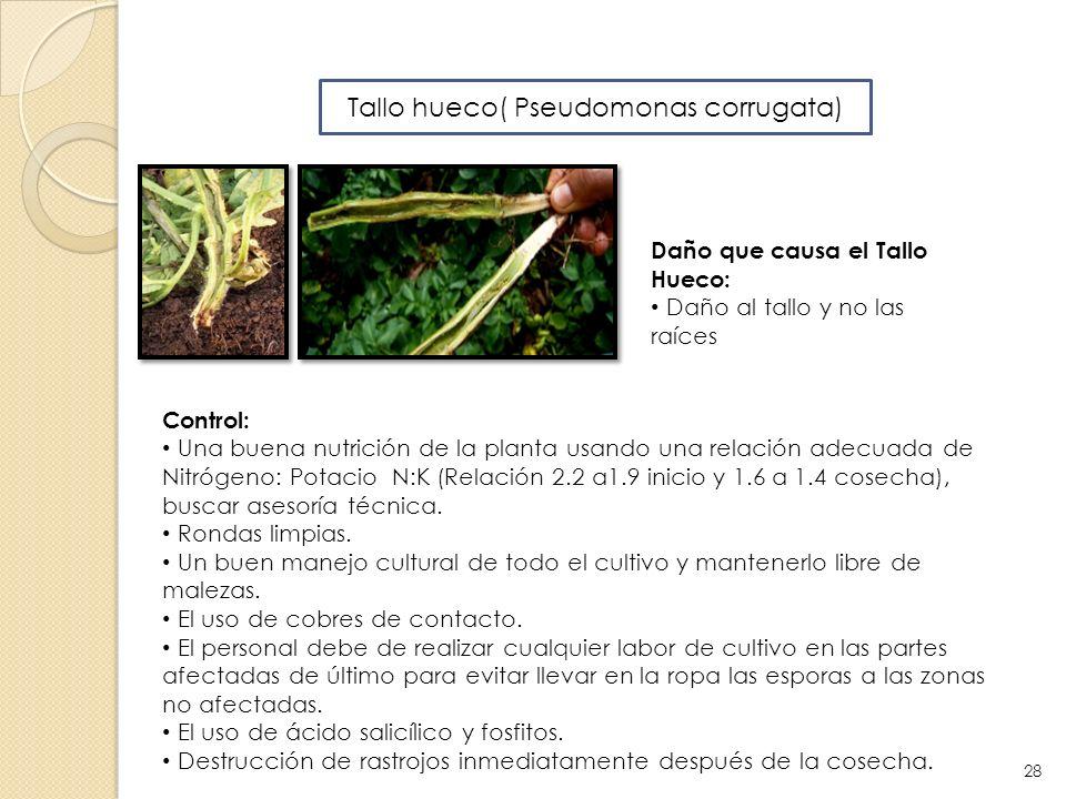 Tallo hueco( Pseudomonas corrugata) Daño que causa el Tallo Hueco: Daño al tallo y no las raíces Control: Una buena nutrición de la planta usando una
