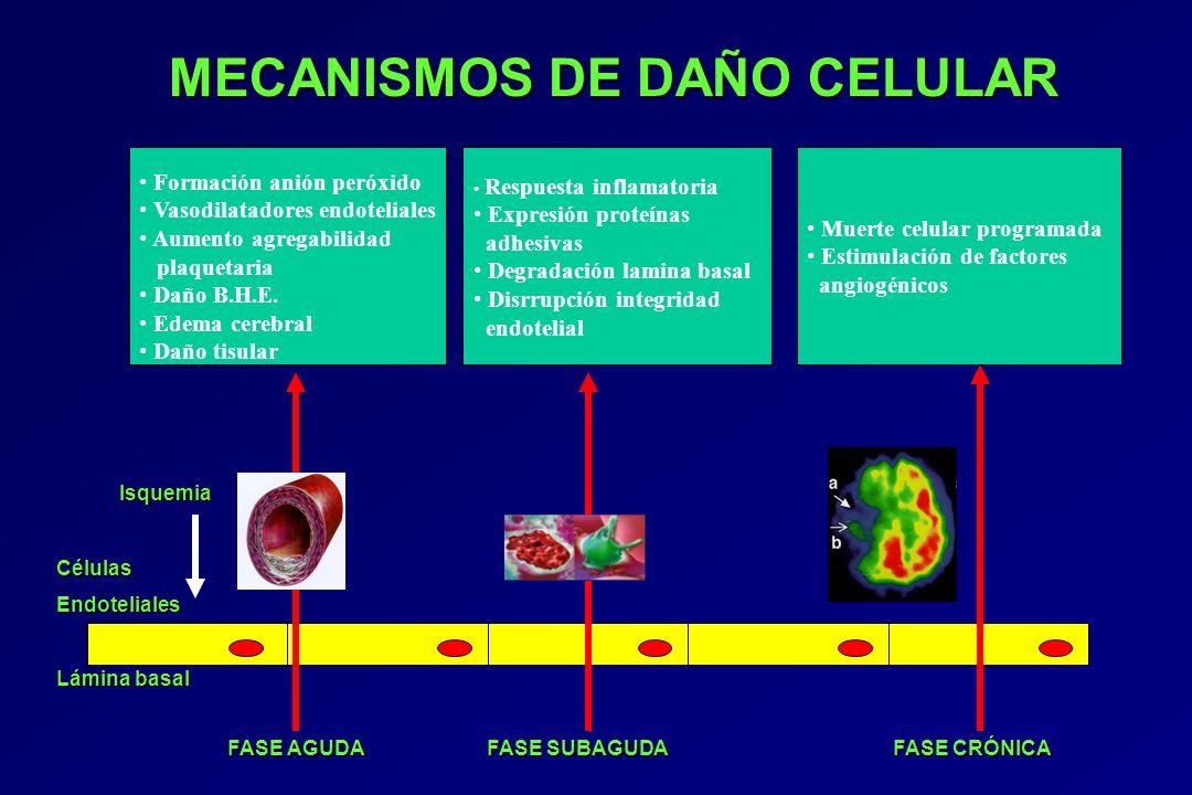 MECANISMOS DE DAÑO CELULAR MECANISMOS DE DAÑO CELULAR Isquemia IsquemiaCélulasEndoteliales Lámina basal FASE AGUDA FASE SUBAGUDA FASE CRÓNICA FASE AGU