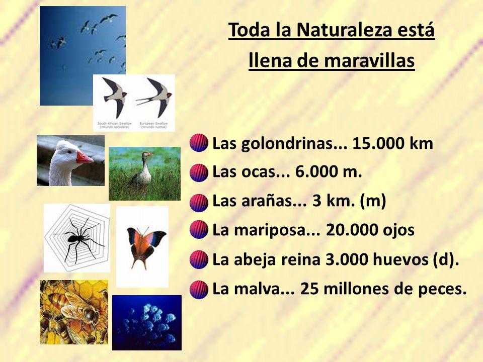 Toda la Naturaleza está llena de maravillas Las golondrinas... 15.000 km Las ocas... 6.000 m. Las arañas... 3 km. (m) La mariposa... 20.000 ojos La ab