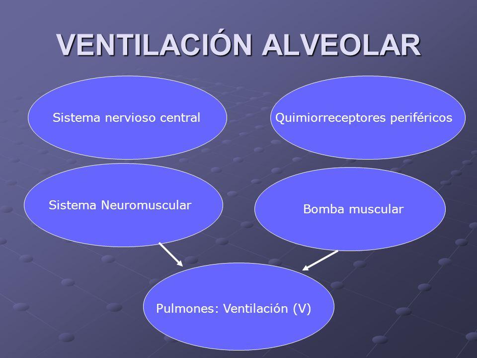 Sistema nervioso centralQuimiorreceptores periféricos Sistema Neuromuscular Bomba muscular Pulmones: Ventilación (V) VENTILACIÓN ALVEOLAR