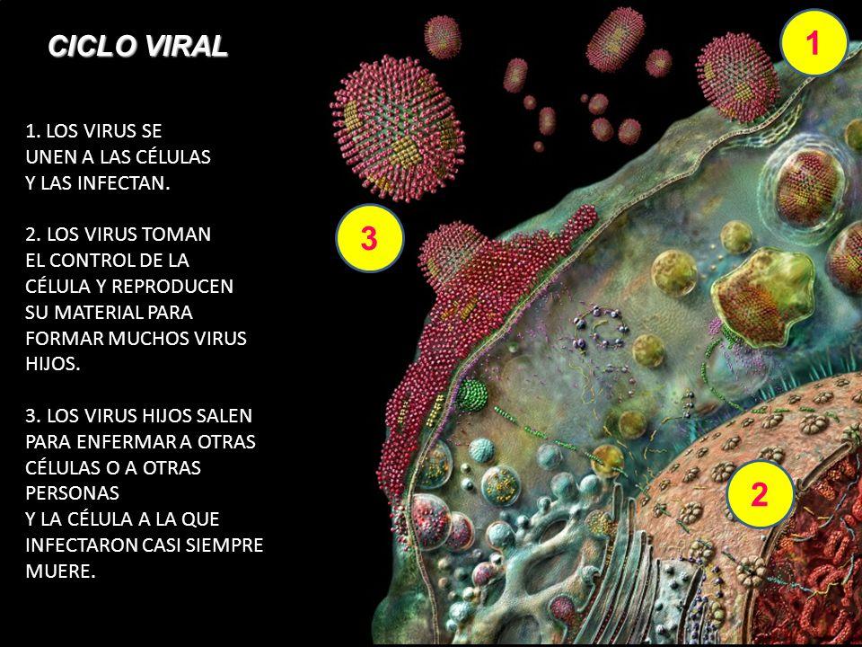 1 3 2 1. LOS VIRUS SE UNEN A LAS CÉLULAS Y LAS INFECTAN. 2. LOS VIRUS TOMAN EL CONTROL DE LA CÉLULA Y REPRODUCEN SU MATERIAL PARA FORMAR MUCHOS VIRUS