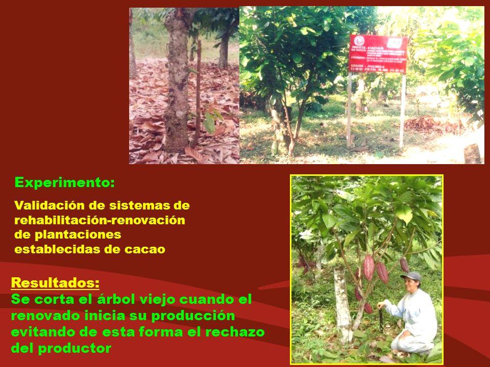 Experimento: Validación de sistemas de rehabilitación-renovación de plantaciones establecidas de cacao Resultados: Se corta el árbol viejo cuando el r