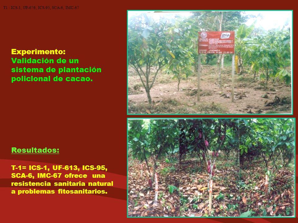 Experimento: Validación de un sistema de plantación policlonal de cacao. Resultados: T-1= ICS-1, UF-613, ICS-95, SCA-6, IMC-67 ofrece una resistencia