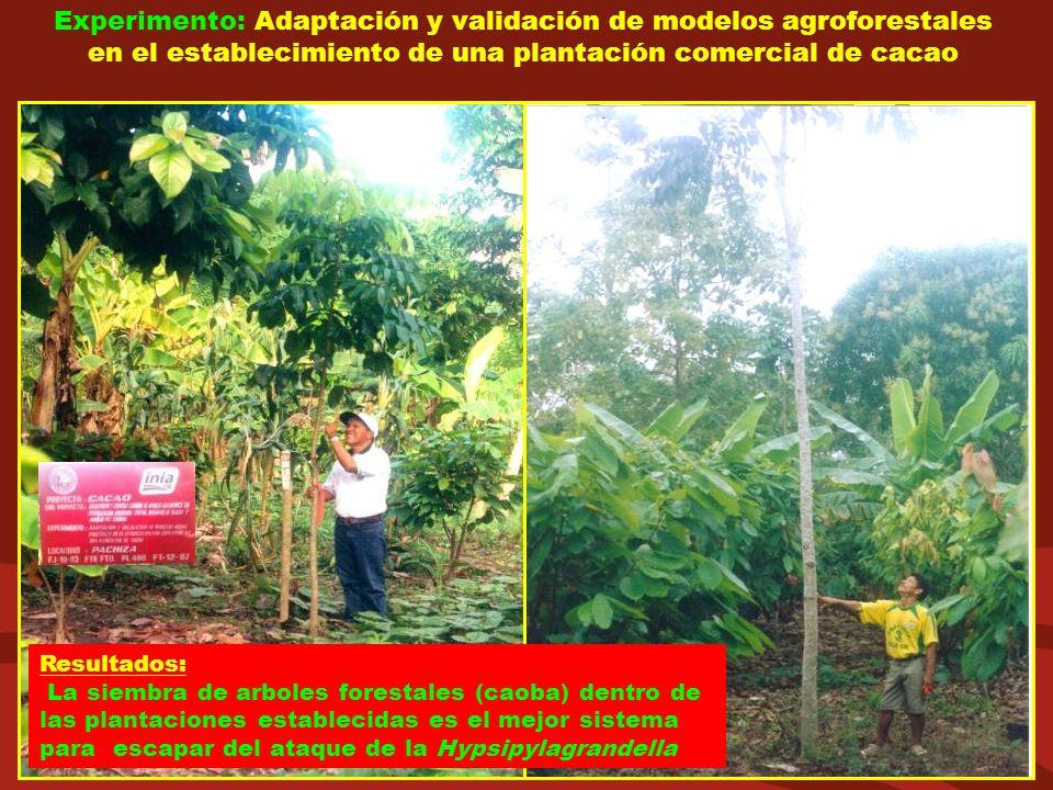 Experimento: Adaptación y validación de modelos agroforestales en el establecimiento de una plantación comercial de cacao Resultados: La siembra de ar