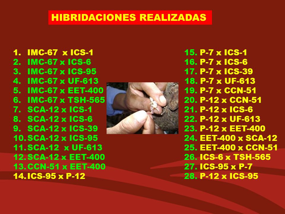 HIBRIDACIONES REALIZADAS 1.IMC-67 x ICS-115. P-7 x ICS-1 2.IMC-67 x ICS-616. P-7 x ICS-6 3.IMC-67 x ICS-9517. P-7 x ICS-39 4.IMC-67 x UF-613 18. P-7 x
