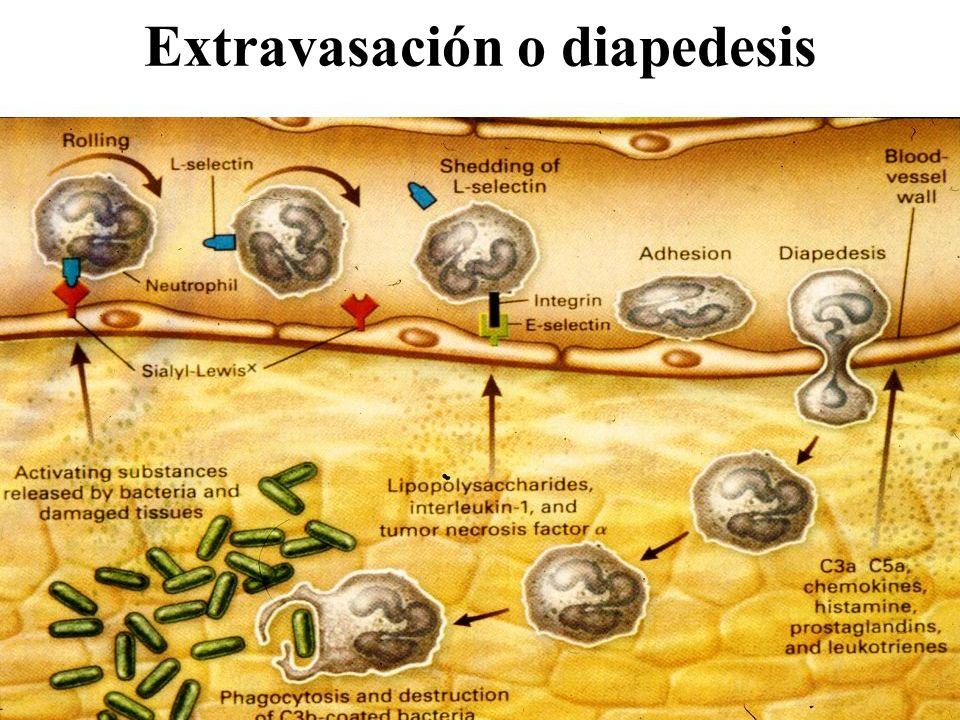 Extravasación o diapedesis