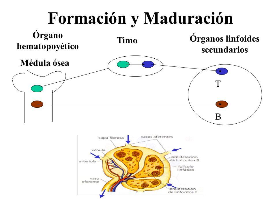Formación y Maduración Órgano hematopoyético Médula ósea Timo Órganos linfoides secundarios T B