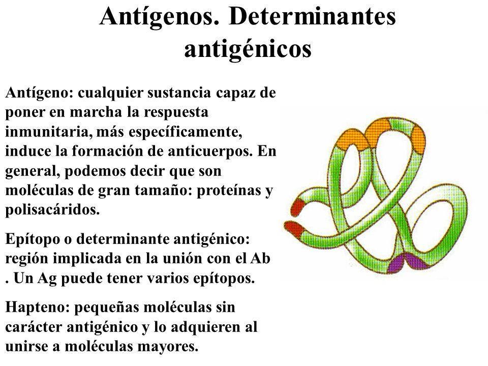 Antígenos. Determinantes antigénicos Antígeno: cualquier sustancia capaz de poner en marcha la respuesta inmunitaria, más específicamente, induce la f