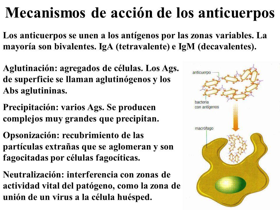 Mecanismos de acción de los anticuerpos Los anticuerpos se unen a los antígenos por las zonas variables. La mayoría son bivalentes. IgA (tetravalente)