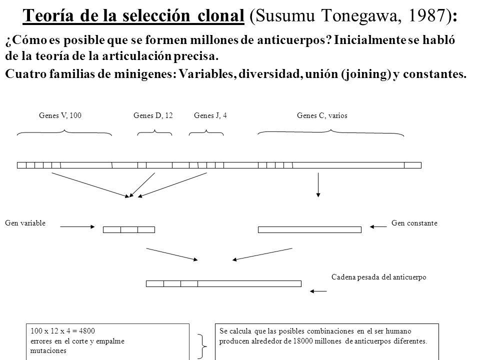 Teoría de la selección clonal (Susumu Tonegawa, 1987): Genes V, 100Genes D, 12Genes J, 4Genes C, varios Gen variableGen constante Cadena pesada del an