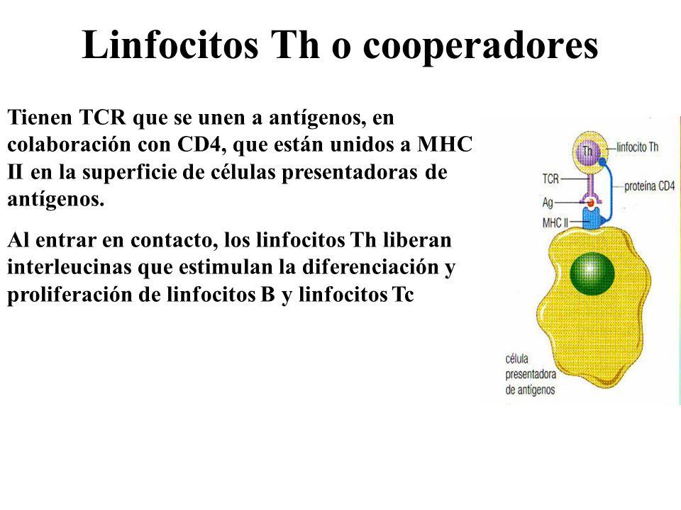 Linfocitos Th o cooperadores Tienen TCR que se unen a antígenos, en colaboración con CD4, que están unidos a MHC II en la superficie de células presen
