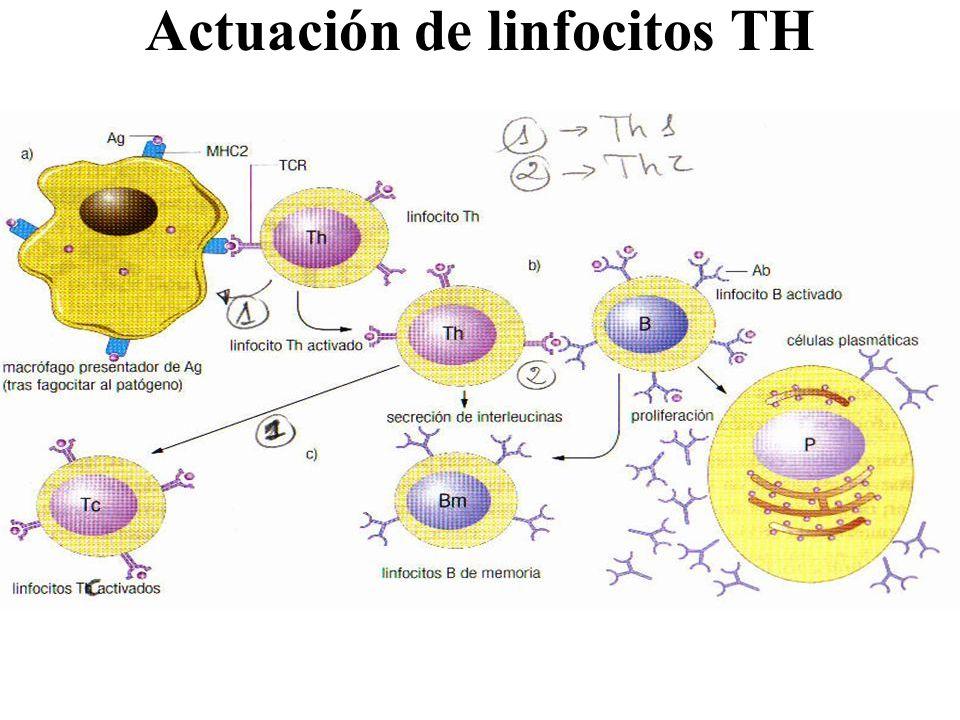 Actuación de linfocitos TH