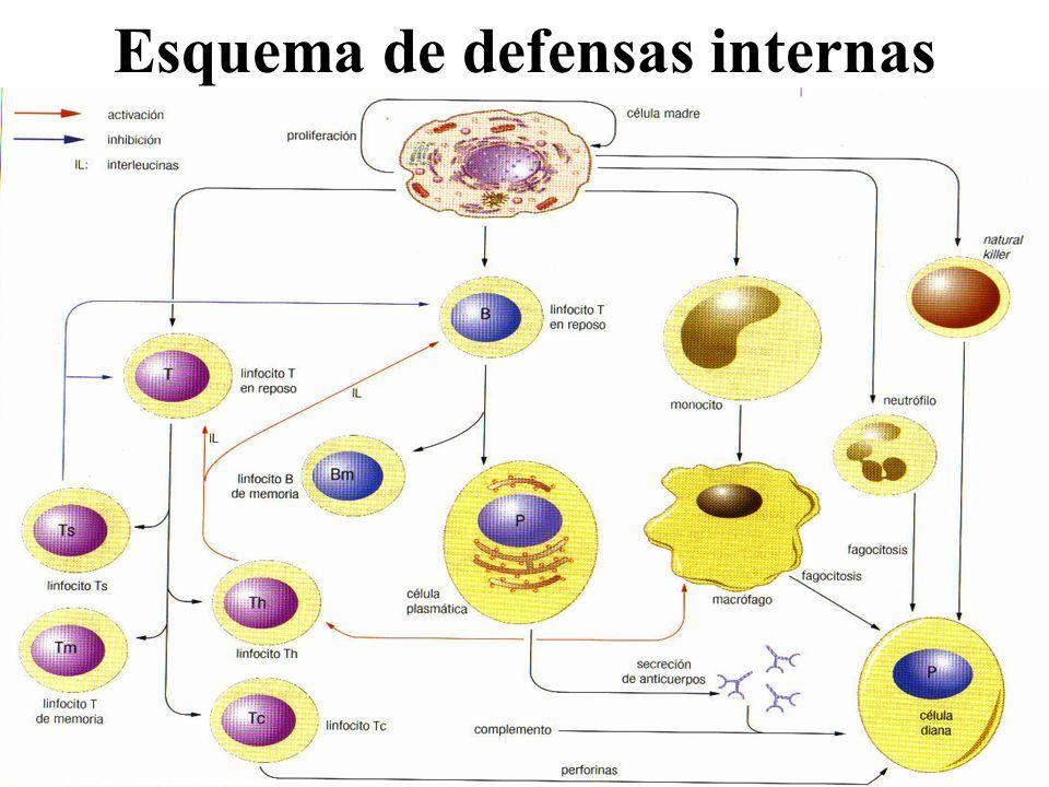 Esquema de defensas internas