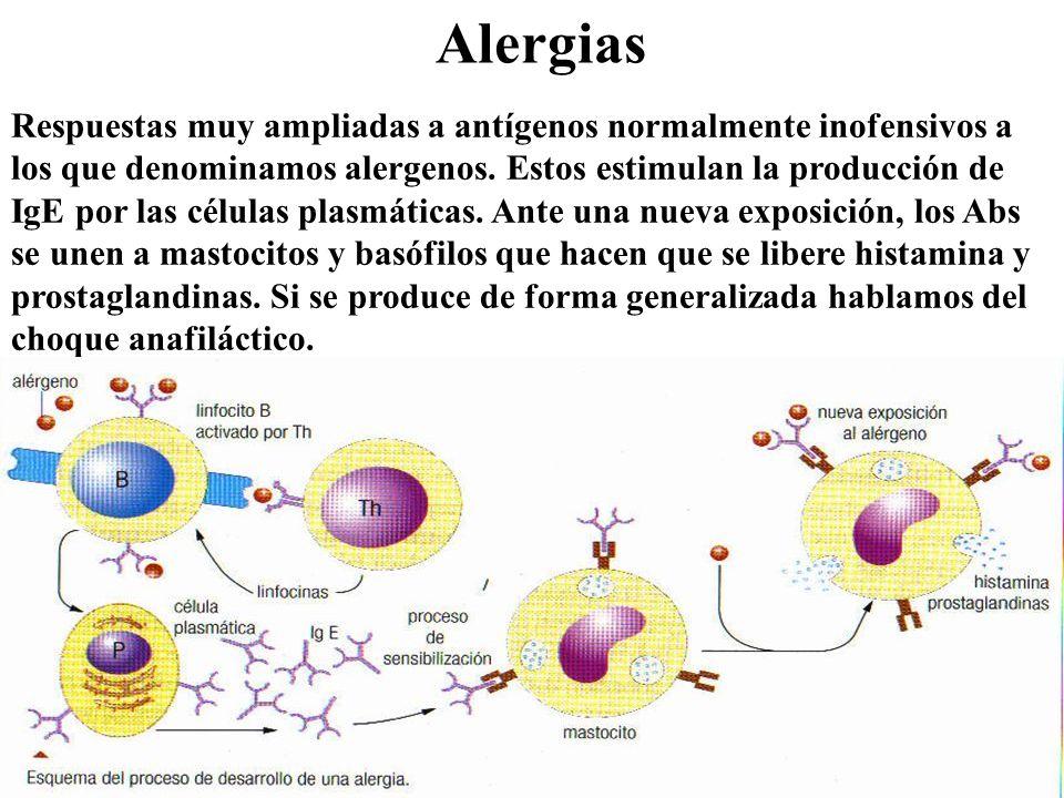 Alergias Respuestas muy ampliadas a antígenos normalmente inofensivos a los que denominamos alergenos. Estos estimulan la producción de IgE por las cé