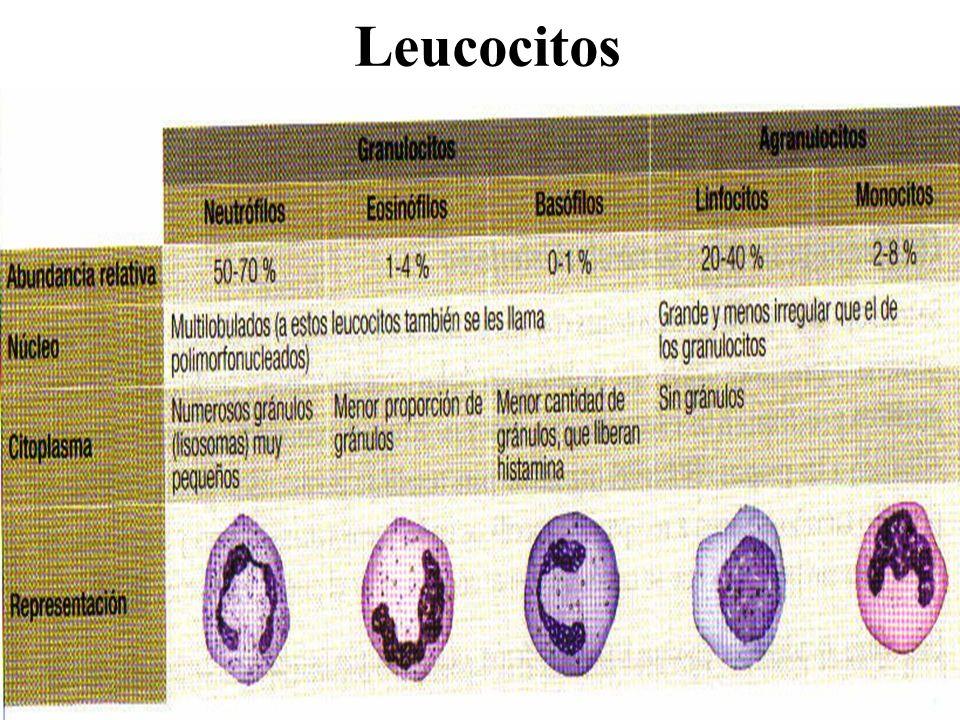 Órganos linfoides Órganos linfoides primarios: médula ósea roja (linfocitos B) y timo (linfocitos T) Órganos linfoides secundarios: bazo, tejidos linfoides asociados a mucosas como placas de Peyer (MALT) y ganglios linfáticos.