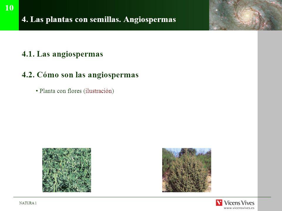 NATURA 1 4. Las plantas con semillas. Angiospermas 4.1. Las angiospermas 4.2. Cómo son las angiospermas Planta con flores (ilustración) 10