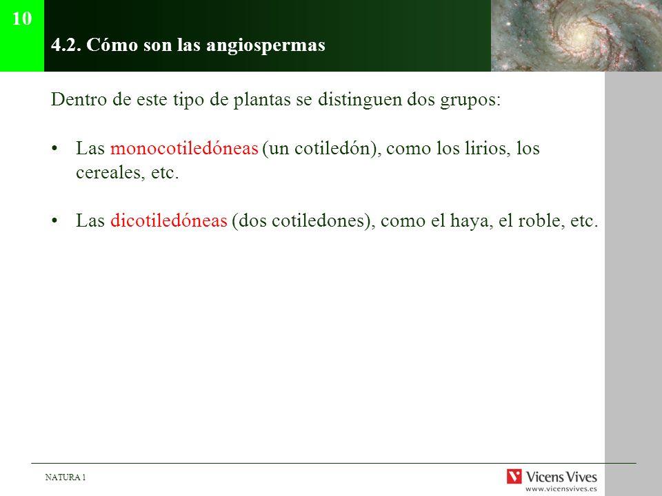 NATURA 1 4.2. Cómo son las angiospermas Dentro de este tipo de plantas se distinguen dos grupos: Las monocotiledóneas (un cotiledón), como los lirios,