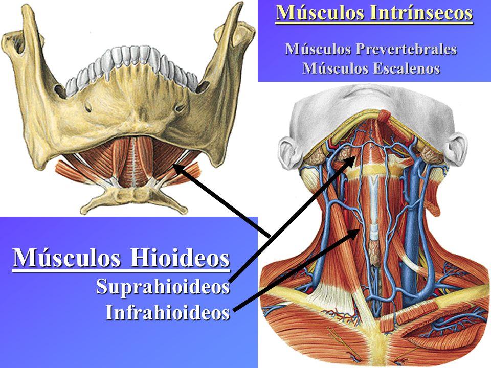 Músculos Hioideos SuprahioideosInfrahioideos Músculos Prevertebrales Músculos Escalenos
