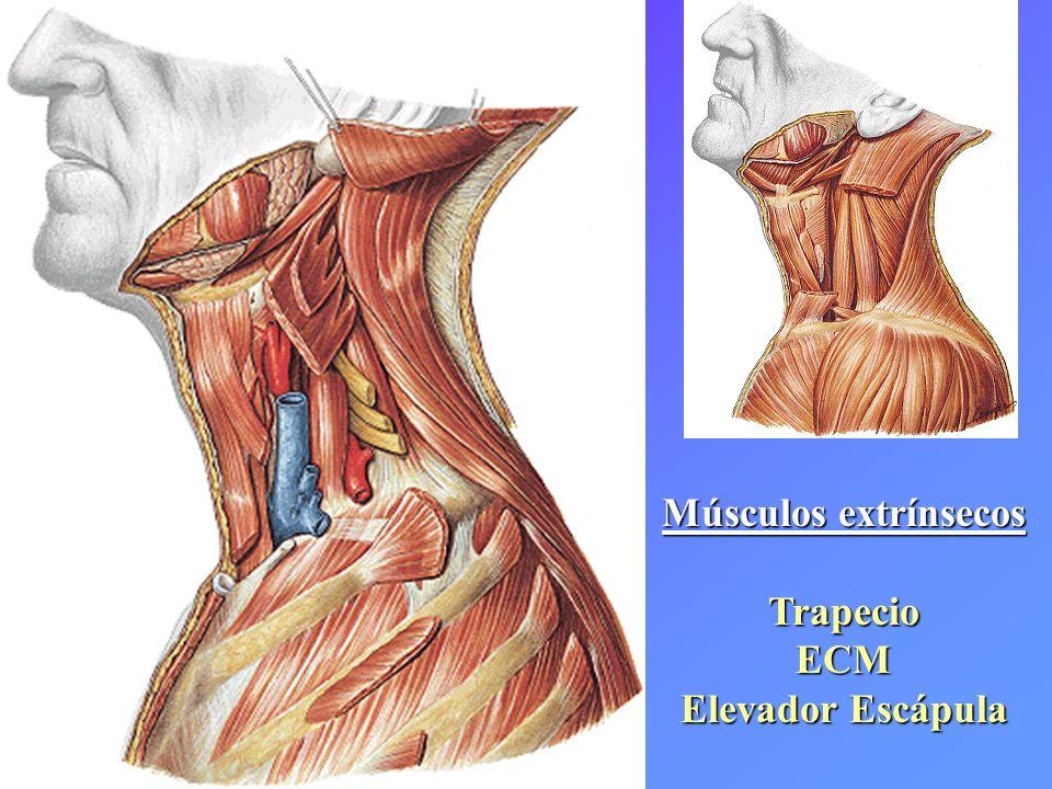 Músculos extrínsecos TrapecioECM Elevador Escápula