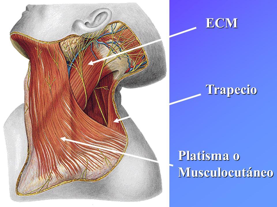 ECMTrapecio Platisma o Musculocutáneo