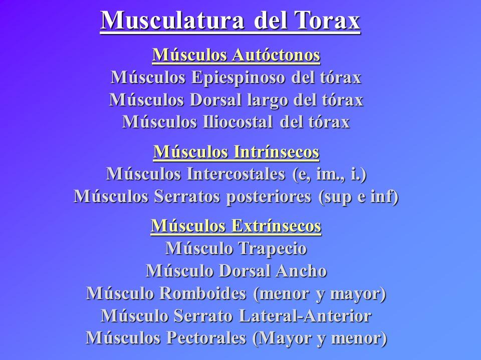 Músculos Autóctonos Músculos Epiespinoso del tórax Músculos Dorsal largo del tórax Músculos Iliocostal del tórax Músculos Intrínsecos Músculos Interco