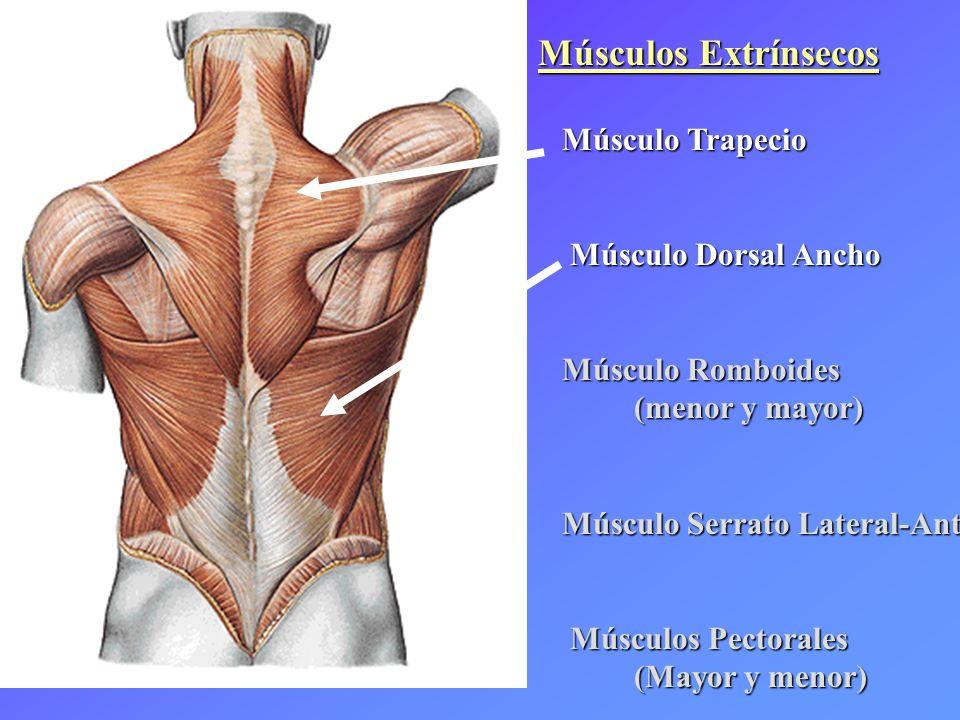 Músculos Extrínsecos Músculo Trapecio Músculo Trapecio Músculo Dorsal Ancho Músculo Dorsal Ancho Músculo Romboides Músculo Romboides (menor y mayor) M