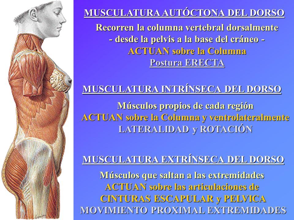 MUSCULATURA AUTÓCTONA DEL DORSO Recorren la columna vertebral dorsalmente - desde la pelvis a la base del cráneo - ACTUAN sobre la Columna Postura ERECTA Canales Vertebrales EXTRÍNSECA e INTRÍNSECA