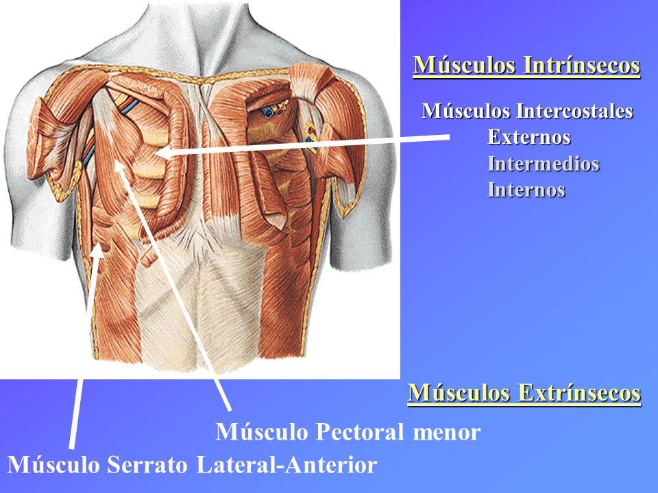 Músculo Serrato Lateral-Anterior Músculo Pectoral menor Músculos Intercostales ExternosIntermediosInternos Músculos Intrínsecos Músculos Extrínsecos