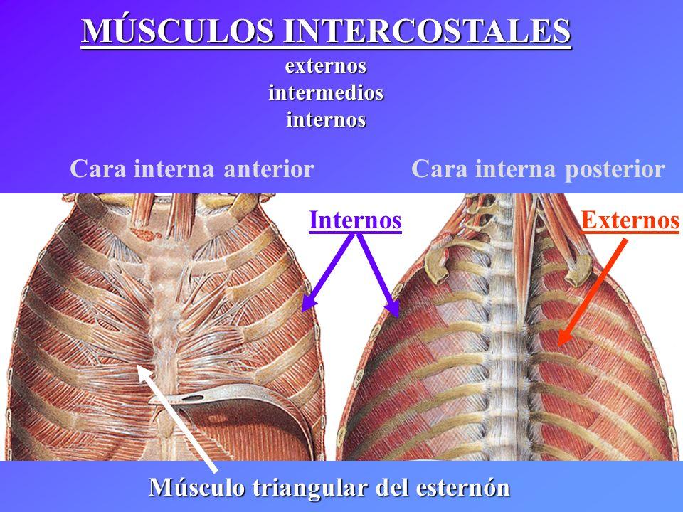 MÚSCULOS INTERCOSTALES externosintermediosinternos Músculo triangular del esternón Cara interna anterior Cara interna posterior InternosExternos