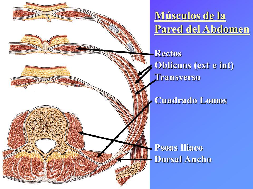 Músculos de la Pared del Abdomen Rectos Oblicuos (ext e int) Transverso Cuadrado Lomos Psoas Iliaco Dorsal Ancho