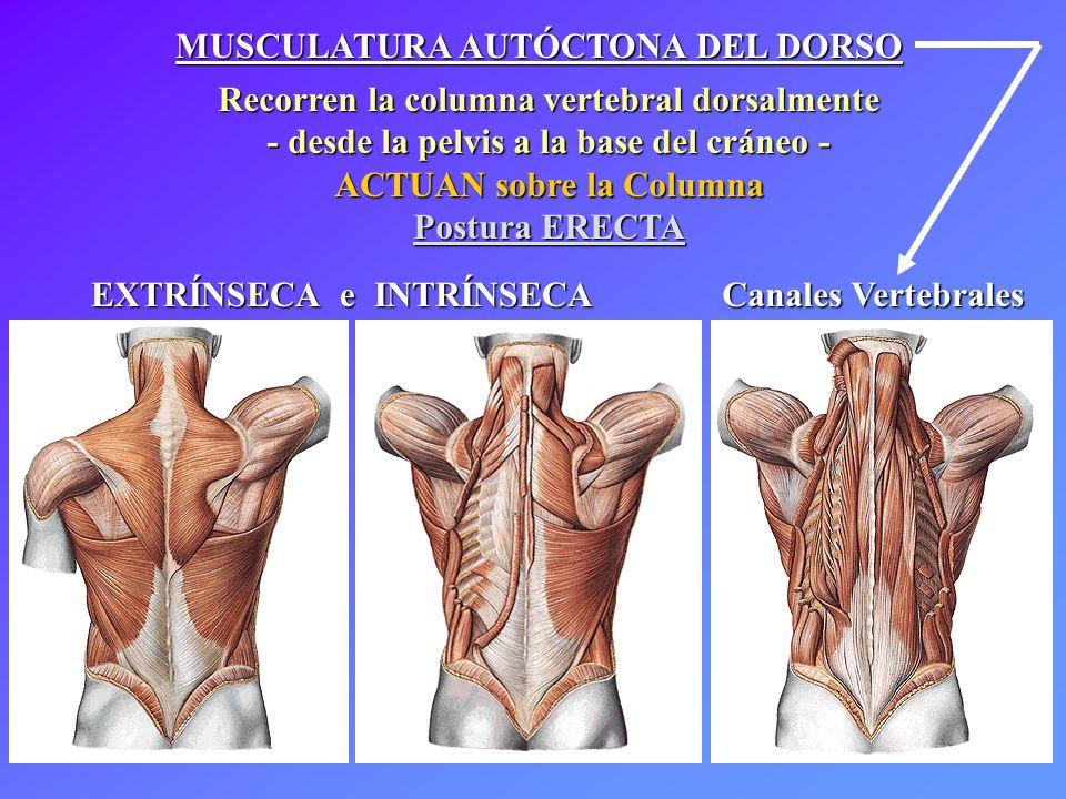 MUSCULATURA AUTÓCTONA DEL DORSO Recorren la columna vertebral dorsalmente - desde la pelvis a la base del cráneo - ACTUAN sobre la Columna Postura ERE
